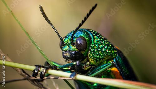 Jewel beetle in field macro shot