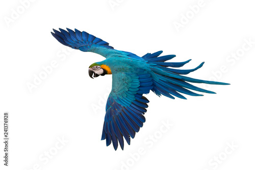 Fotografia Blue and gold macaw flying isolated on white background