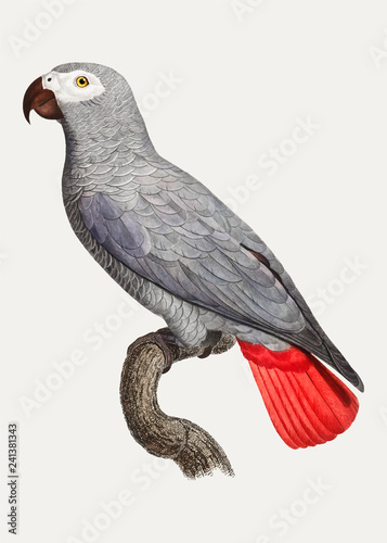 Fototapeta premium Congo grey parrot