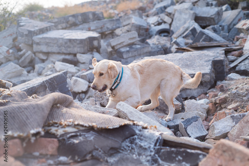 Tableau sur Toile Dog looking for injured people in ruins after earthquake.