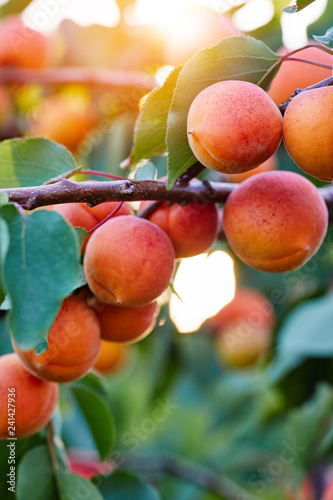 A bunch of ripe apricots branch in sunshine