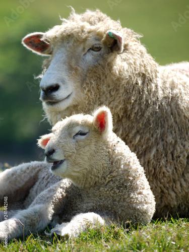 Stampa su Tela Ewe and lamb at Abbotsbury, Dorset