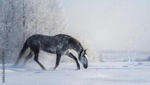Fototapeta premium Hiszpański szary koń chodzi na wolność w czasie zimy.