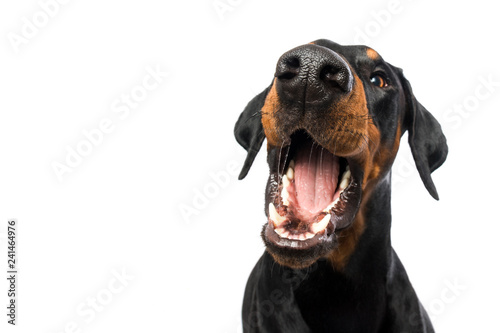 Foto Doberman dog snaps in the air on white background