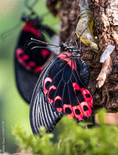 Fototapeta premium Scharlachroter Schwalbenschwanz - Papilio rumanzovia