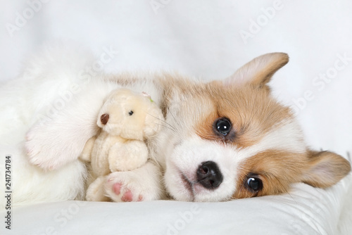 Canvas Print Purebred Welsh Corgi Pembroke puppy with his toy Teddy bear