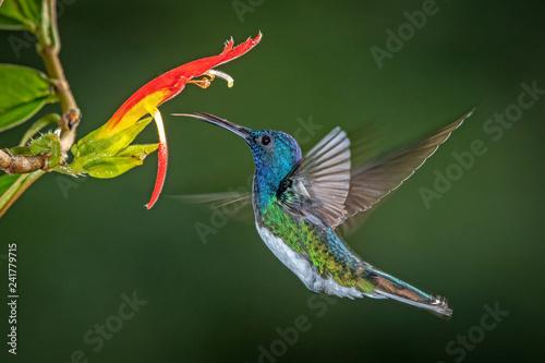 Fotografia White-necked jacobin hummingbird in flight