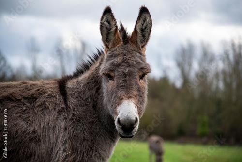 Stampa su Tela donkey in field