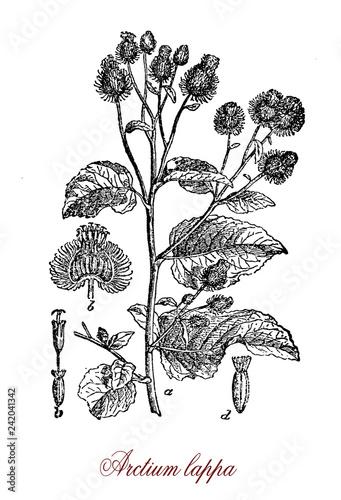 Foto Vintage engraving of arctium lappa or greater burdock, Eurasian plant in the sun
