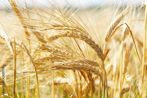 Field of barley in a summer day Fotobehang