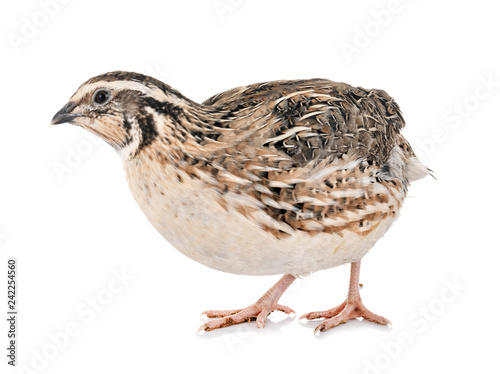 Photo Japanese quail in studio