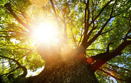 Fototapeta premium Wiosny natury tło; duży stary dąb przed światłem słonecznym