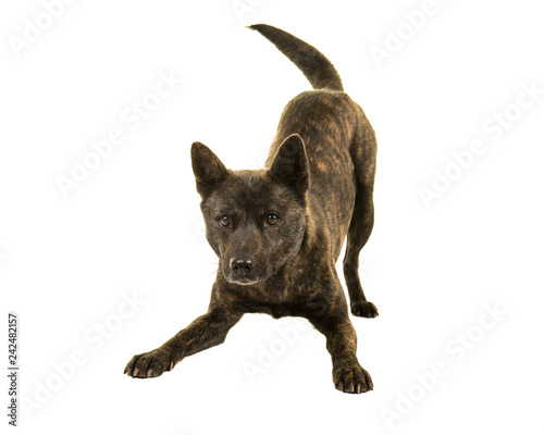 Photographie Female Kai Ken dog the national japanese breed standing in a play bow isolated o