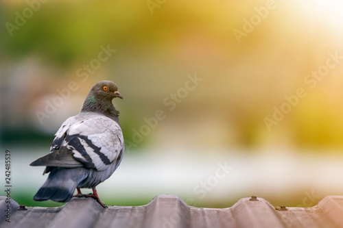 Close-up portrait of beautiful big gray and white grown pigeon with orange eye perching on the edge of brown metal tile roof on blurred bright green bokeh background Fotobehang
