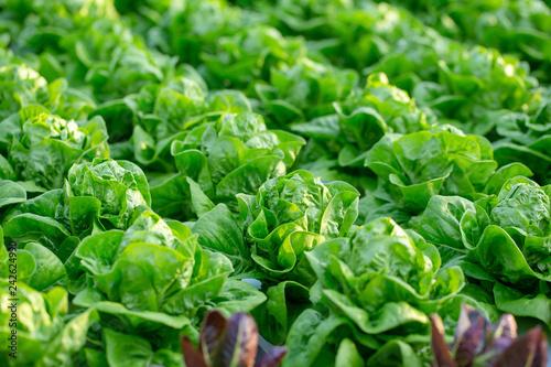 Canvas Print Fresh Butterhead lettuce leaves, Salads vegetable hydroponics farm
