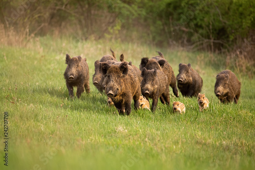 Fototapeta Group of wild boars, sus scrofa, running in spring nature