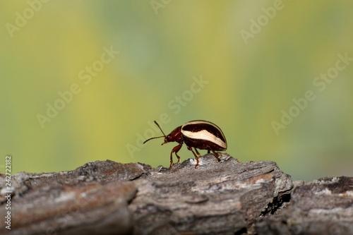 Billede på lærred Calligrapha bidenticola leaf beetle crawling across the top of rough tree bark with a green nature background