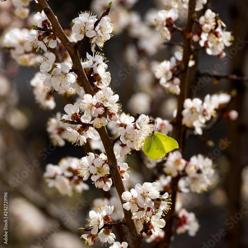 Fototapeta premium Wspólny siarkowy motyl siedzi na kwitnącym drzewie morelowym. Selektywne skupienie.