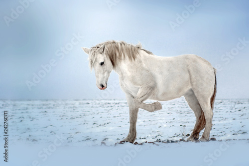 Obraz na plátně white horse beautiful portrait stand winter field snow blue background