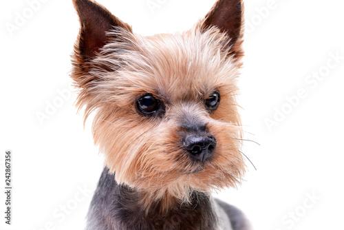 Canvas Print Portrait of a cute Yorkshire Terrier