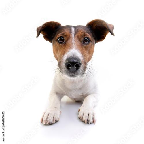 Studio shot of an adorable Jack Russell Terrier Fototapeta