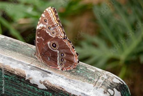 Fototapeta premium zamknąć się niebieski motyl morpho na rustykalne drewniane poręcze