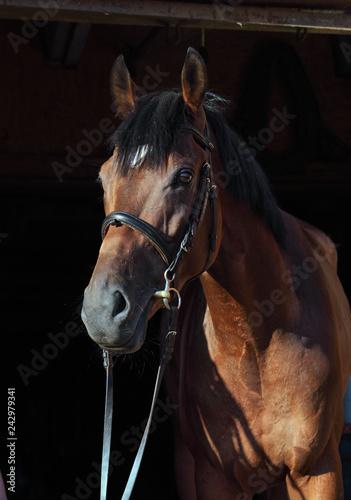 Fototapeta premium Portret czystej krwi konia ujeżdżenia sportowe w ciemnym tle stabilny