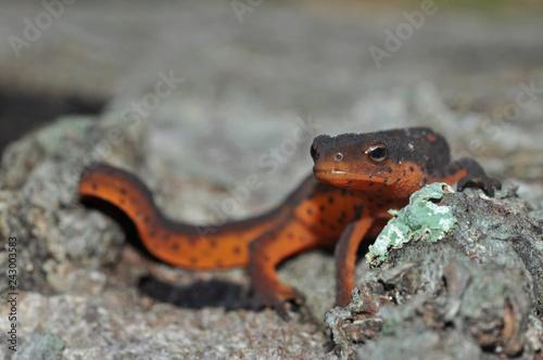 Carta da parati Red-spotted newt