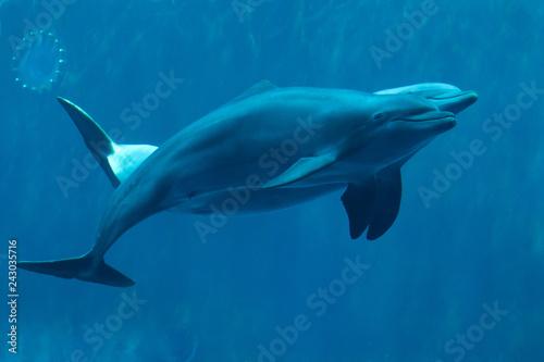 Common bottlenose dolphins (Tursiops truncatus). Poster Mural XXL