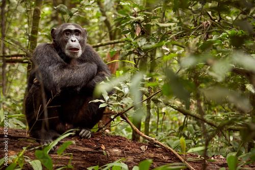 Valokuvatapetti Kibale Chimps