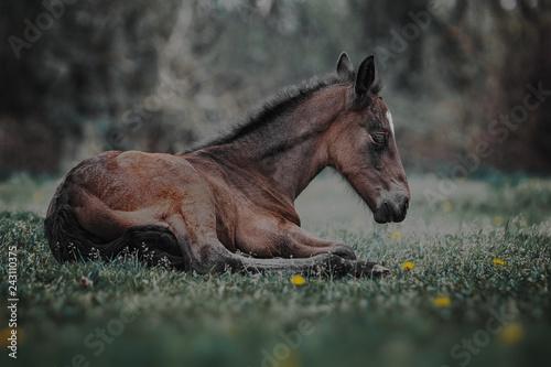 Fototapeta premium Źrebię leżące na trawie
