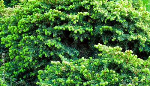 Branch green tree Background
