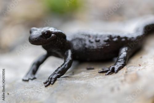 close side view portrait black alpine salamander (salamandra atra)