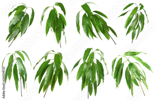 Set with green mango leaves on white background