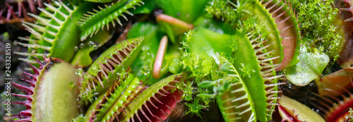 Carta da parati carnivorous predatory plant Venus flytrap - Dionaea muscipula.