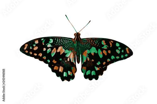 Fototapeta premium wojskowy motyl. na białym tle