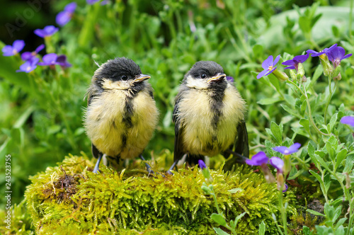 Two young great tits sitting on a stone in a herb garden and waiting for food Fototapete