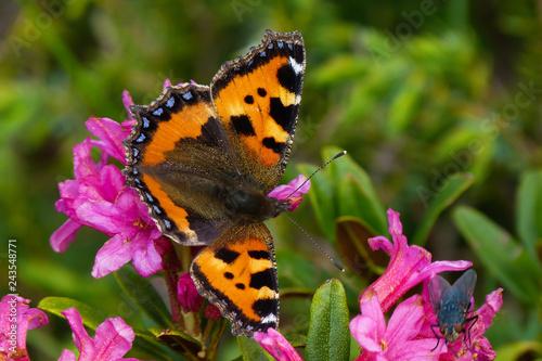 Fototapeta premium Pokrzywa vanessa (Aglais urticae) na kwiatach rododendronów