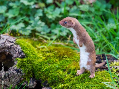 Fotografia Weasel or Least weasel (mustela nivalis