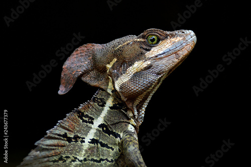 Fotografia Basilisk, Basiliscus basiliscus, detail close-up portrait in the nature habitat