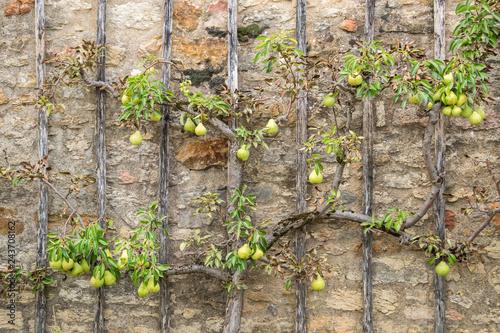 Pear Tree climbing old stone wall- Alternativ Gardening