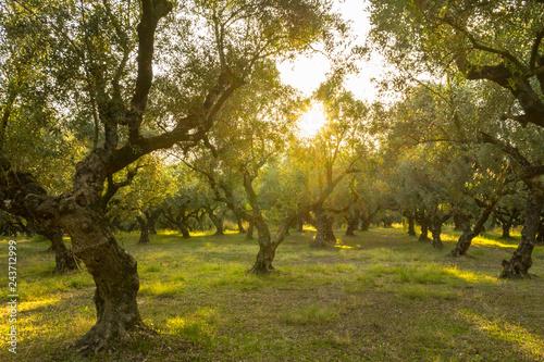 Greece, Zakynthos, Magic atmosphere in beautiful olive tree forest Fototapeta