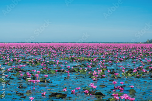 Obraz na płótnie Wonderful and amazing blooming waterlily at the lake, Flowers landscape with wat