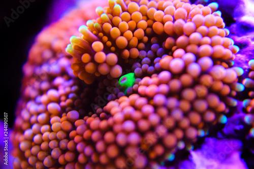 Ricordea orange colorful mushroom polyp coral in reef tank