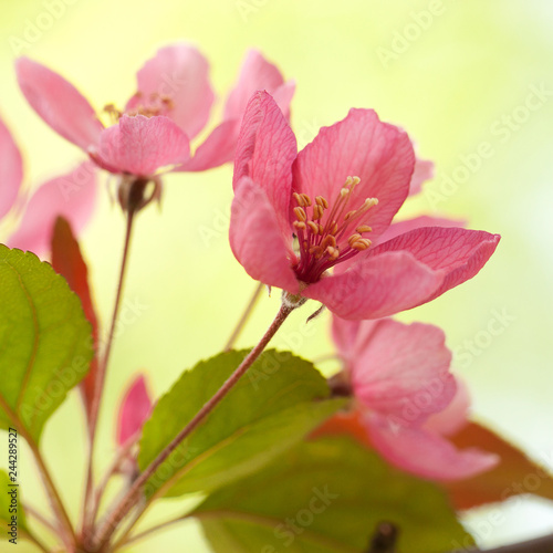 beautiful tender red sakura flowers on a branch in the spring sunny garden