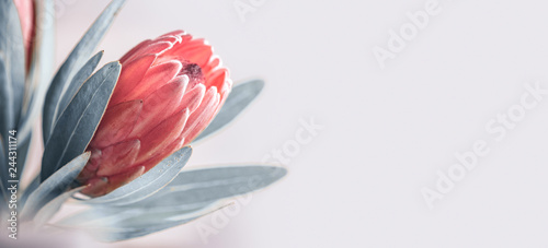 Protea bud closeup. Pink King Protea flower isolated on grey background. Beautiful fashion flower macro shot. Valentine's Day gift