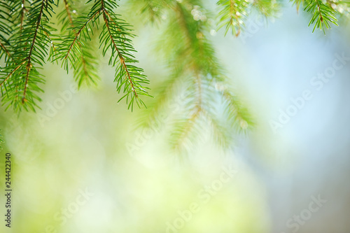 Slika na platnu Spruce (Picea abies) needles and branches
