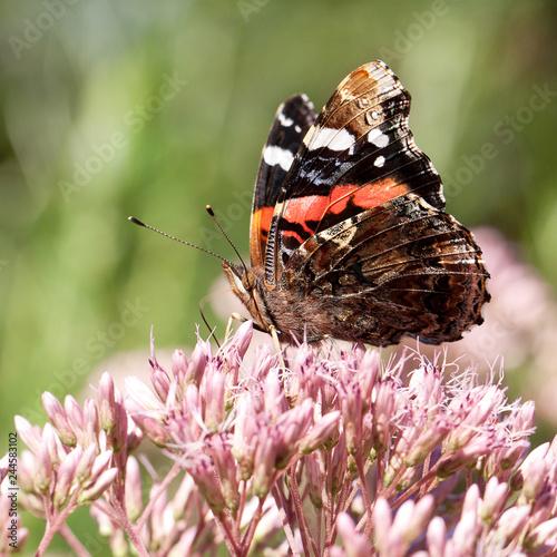 Fototapeta premium piękny jasny motley motyl zbiera pyłek na puszysty różowy kwiat