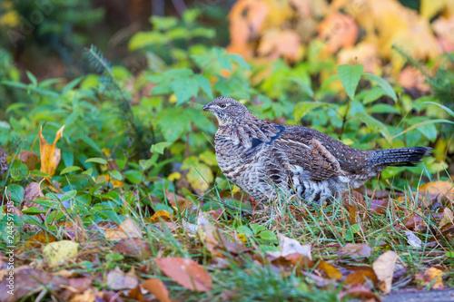 Fototapeta Male ruffed grouse (Bonasa umbellus) in autumn