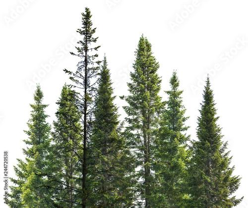 Fotografie, Obraz dark green straight fir trees on white